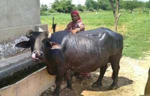 Animal husbandry activity by SHGs women