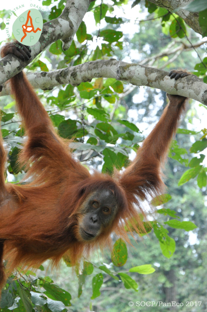 Releasing Orangutans Back into the Wild