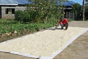 JWHS, Maize Harvest