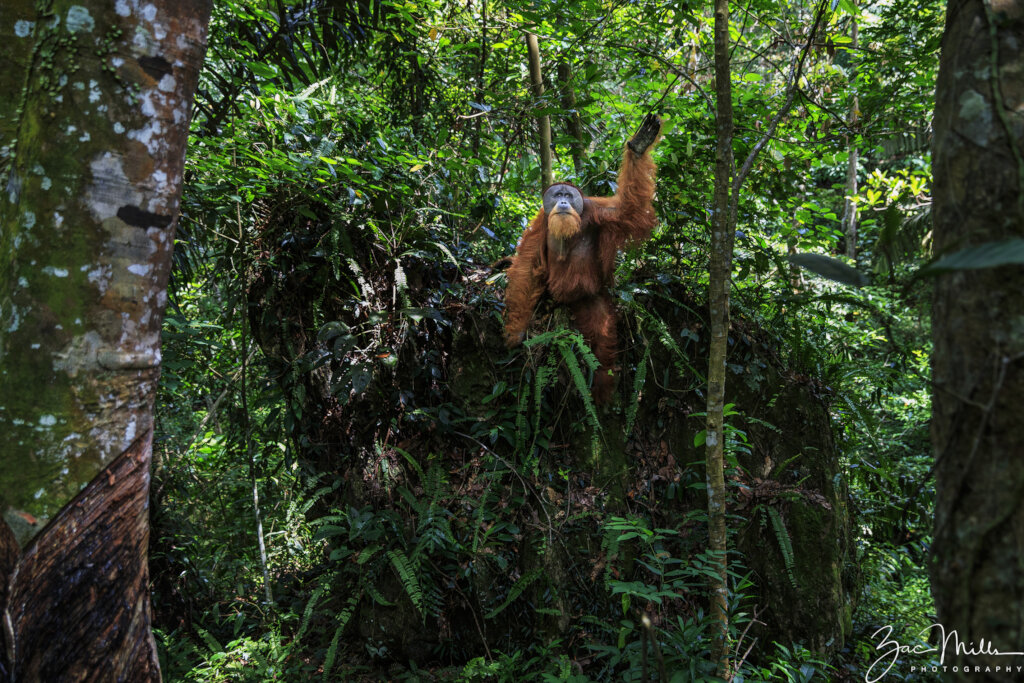 Conserving Intact Rainforest in Sumatra