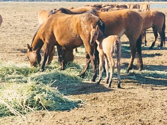 Surprise!-Gila foal beat our birth control...