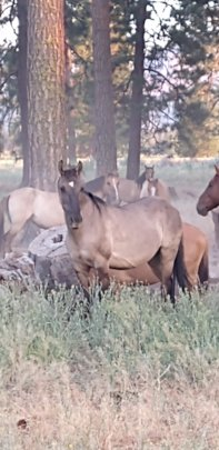 Shota, lead mare in Northern CA