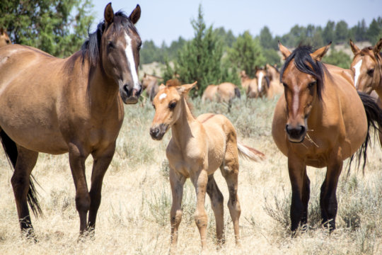 Gila mares and foal in Lassen County, CA