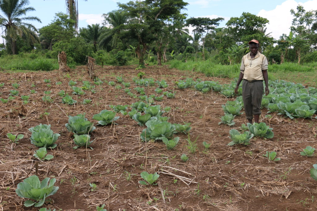 Emergency Irrigation for Cabbage