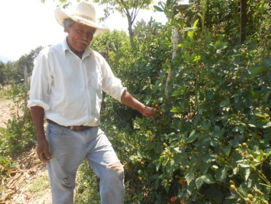 Blackberry plantation in Joyas del Real