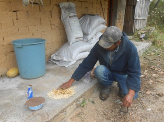 Preparation of seeds for planting in Tonatico