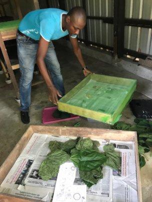 Silkworm farming