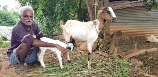 A determined &spirited Chandregowda with his goats