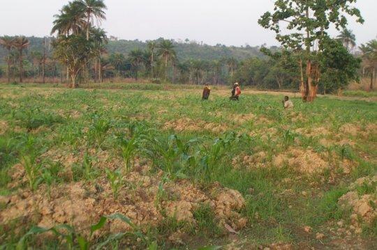 M.S. Kamara inspecting corn field, may 2017