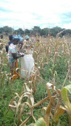 Harvesting maize, august-september 2017