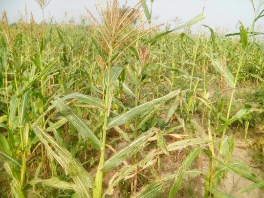 Maize growing on the project field, near Rochen.