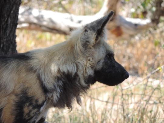 DAKTARI wild dog