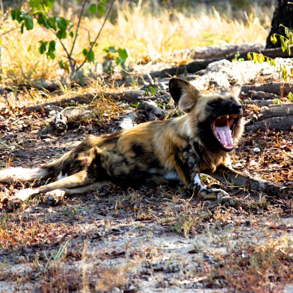 Feed Dongo the Wild Dog