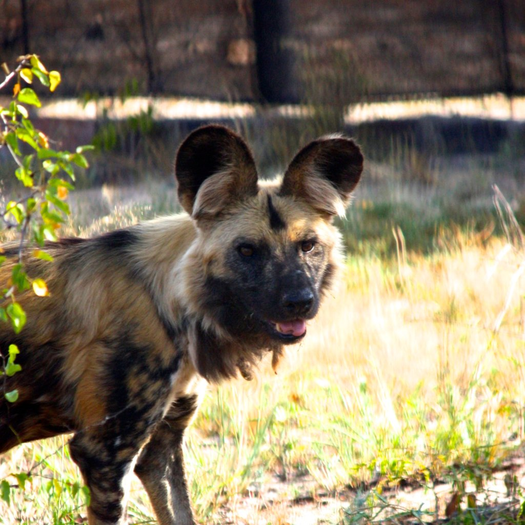 Feed Dongo the Wild Dog