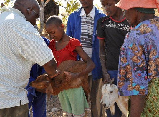 Getting a goat vaccinated