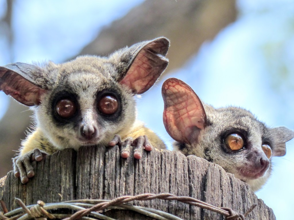 Reports on Banchee our Bush Baby needs love - GlobalGiving