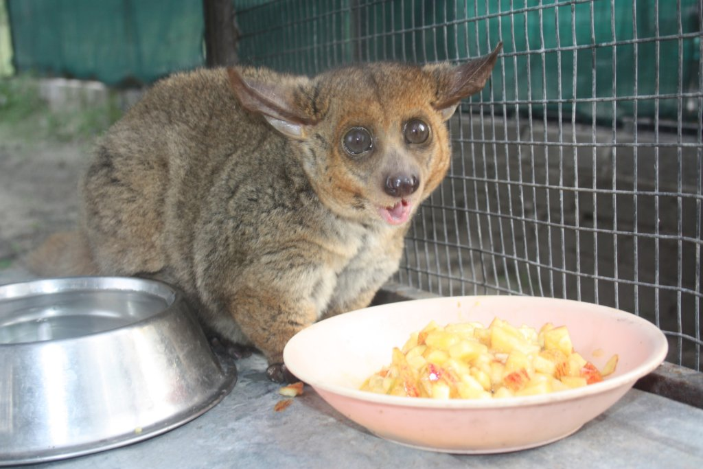 Banchee our Bush Baby needs love
