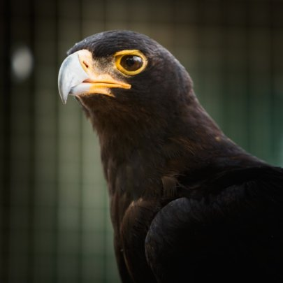 Watch our Black Eagle Soar with Your Support