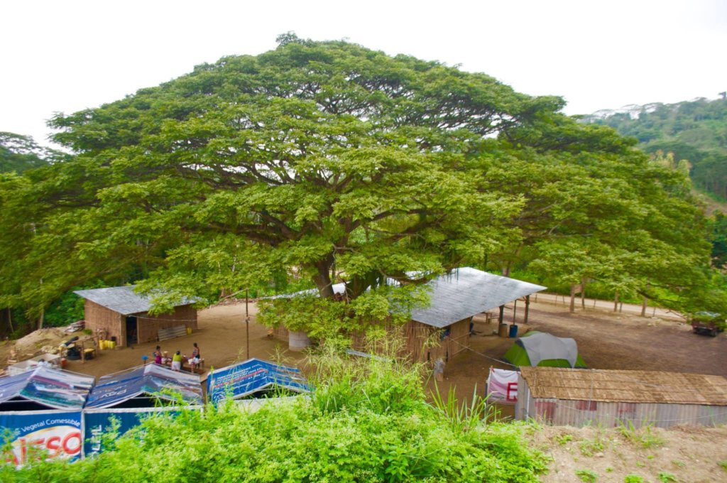 """The """"Saman"""" tree that inspired it all"""