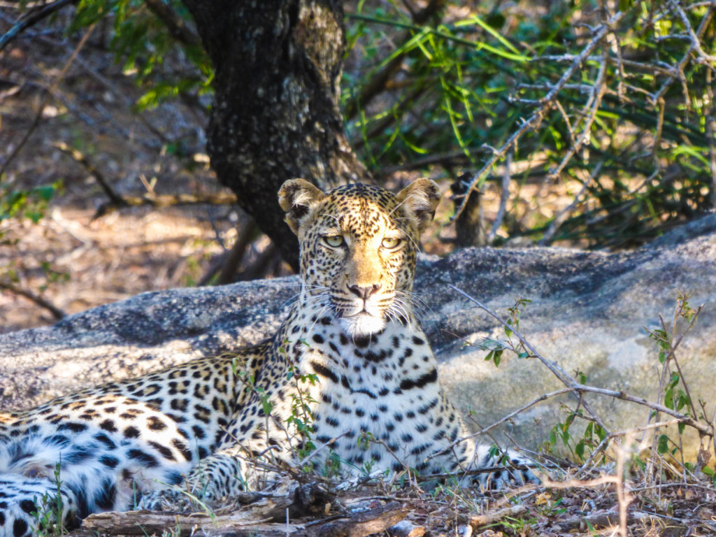 Leopard Research - Conservation Camera Traps
