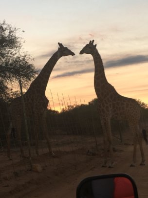 Two star-crossed giraffe lovers