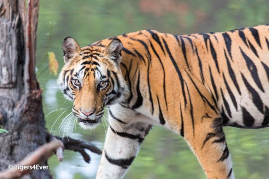 Young Male Tiger on Alert