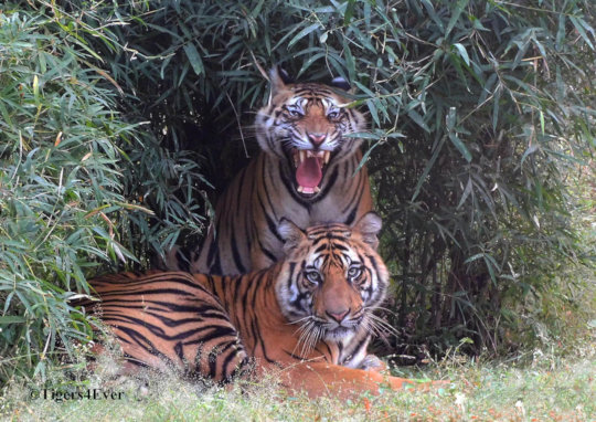 Young Tigers in the Lush Undergrowth