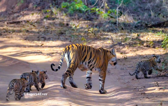 Tigress with 4 Tiny Cubs