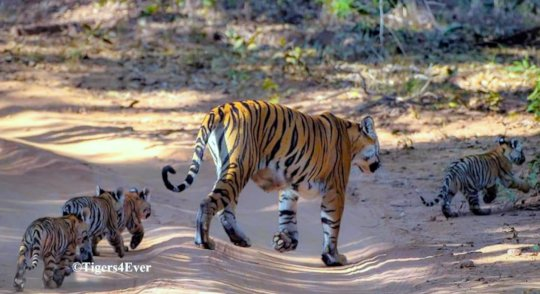 Tigress with 4 Small Cubs