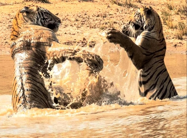 Tiger cubs in Tigers4Ever Waterhole