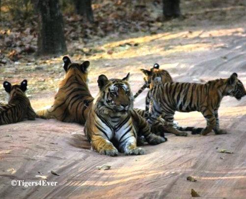 Anti-Poaching Patrols Protect wild Tiger families
