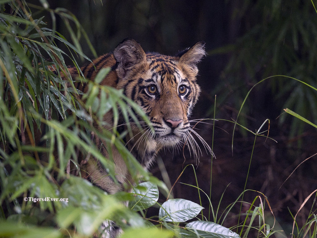 A young cub watches from the safety of his den