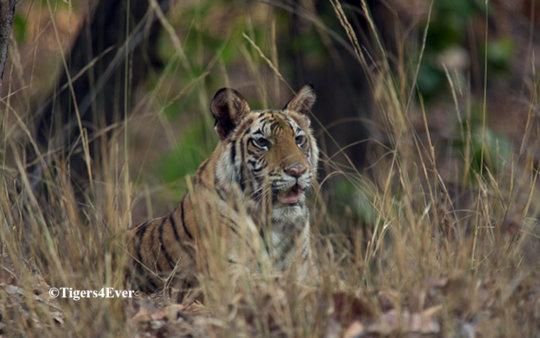 A young cub keeps careful watch