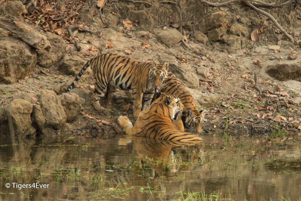 Wild Tigress with 2 cubs