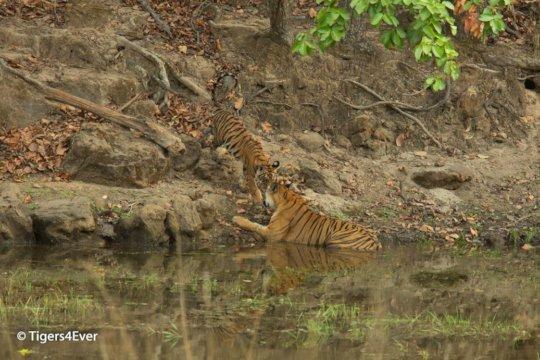 Tigress & cub share an intimate moment