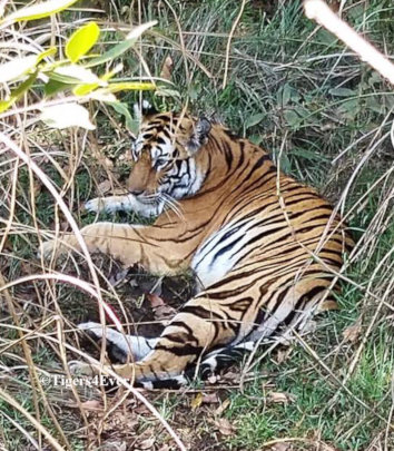 Tiger resting in long grass near a village