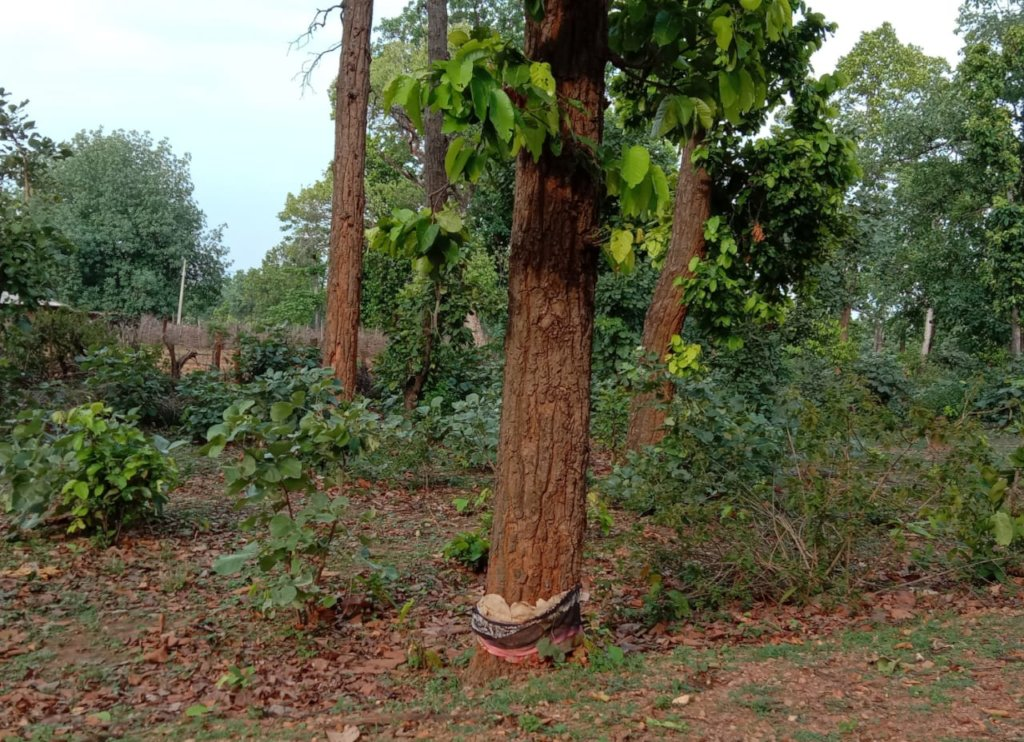 Ringing destroys healthy trees in tiger forests