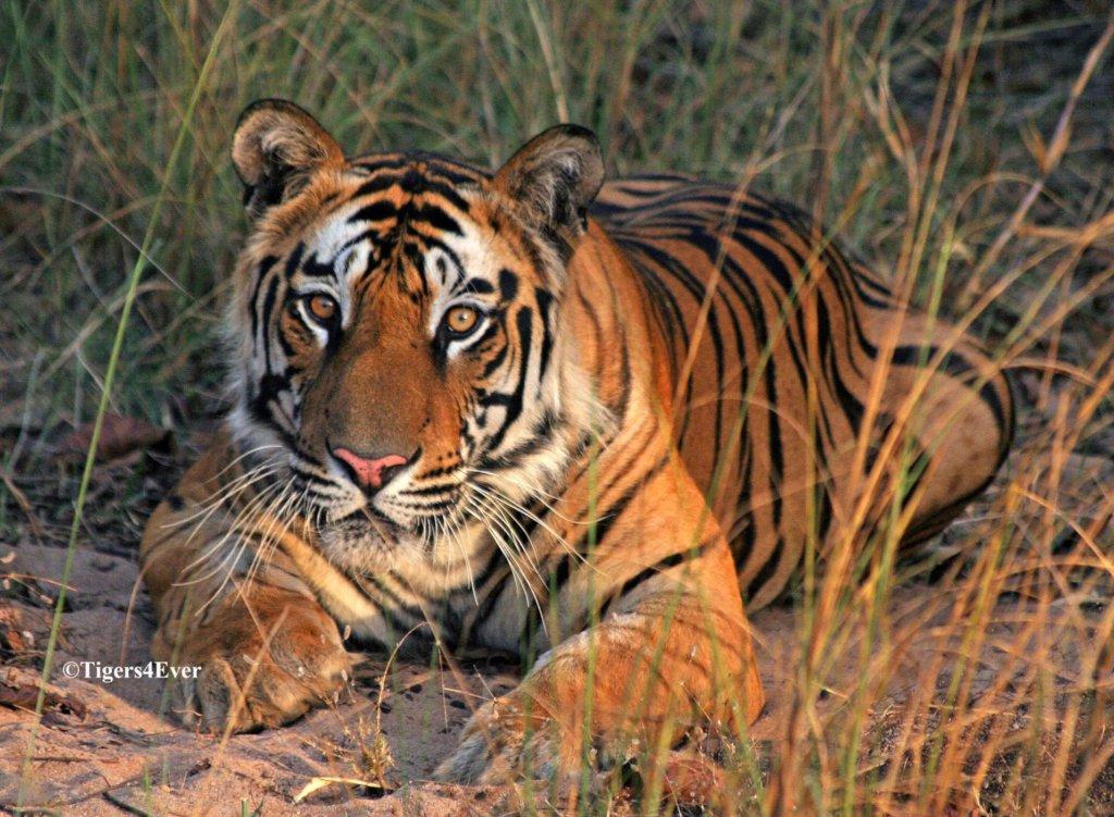 Saving Bandhavgarh's Wild Tigers from Poachers