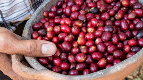 Raw coffee cherries