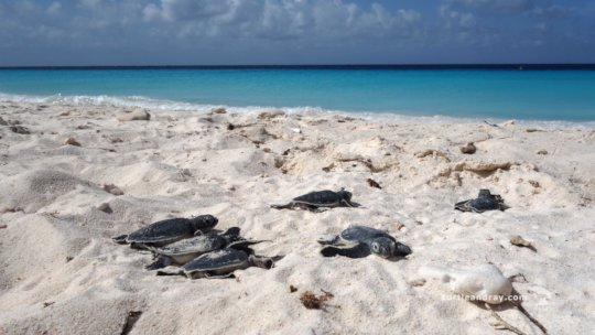 Green turtle hatchlings going to the sea