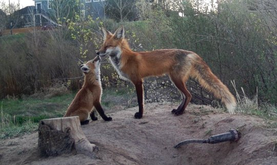 Guardian Fox Living on our Farm