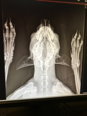 Dew's xray from her visit to our vet clinic
