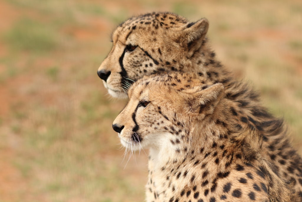 Save Big Cats From Extinction In Africa