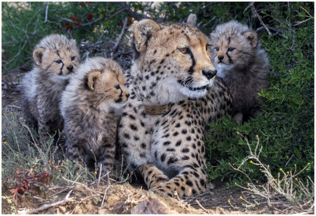 Save Big Cats From Extinction In Africa - GlobalGiving