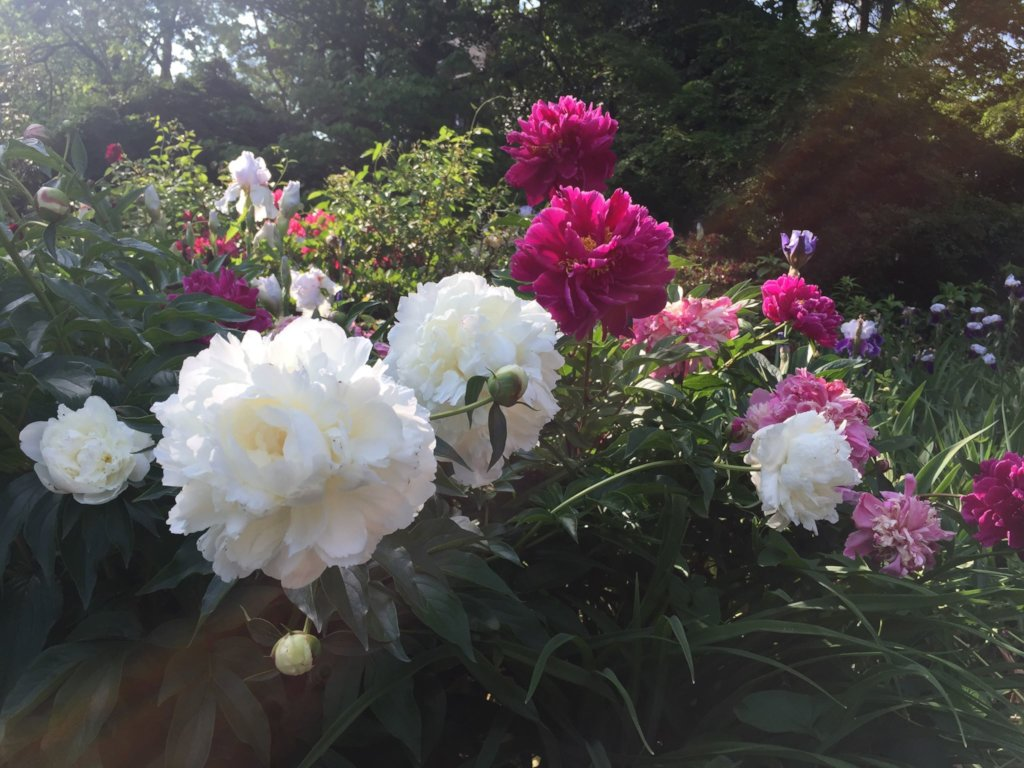 Peonies in the Spring