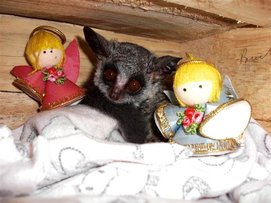 Chico, our beloved bushbaby