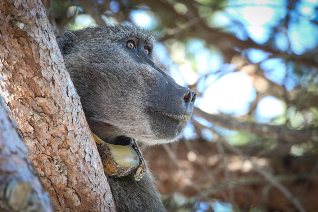 Protect the Chacma Baboons in Sabie, South Africa