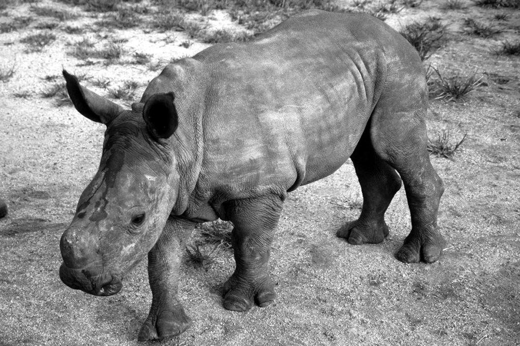 Esme the Rhino