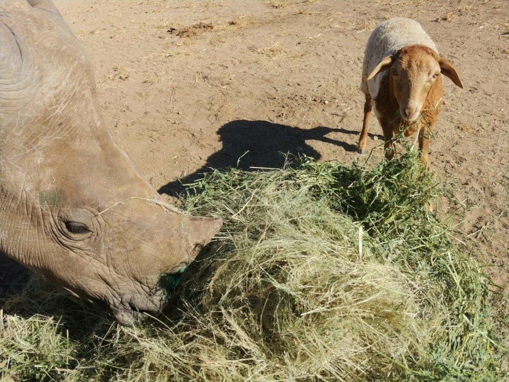 Esme, the Rescued Rhino at HESC