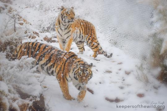 Tigers Malachi & Marilyn enjoying a KOTW snow day!